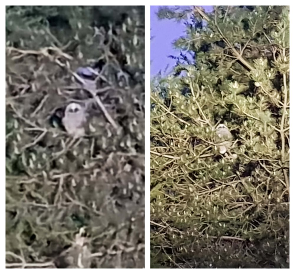5 Owlets.jpg